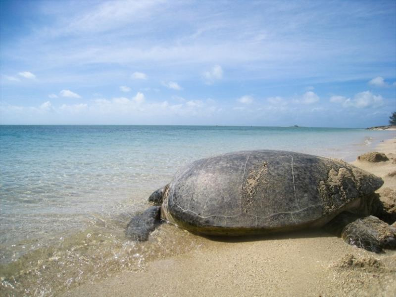 Adult green sea turtle release - photo © NOAA Fisheries
