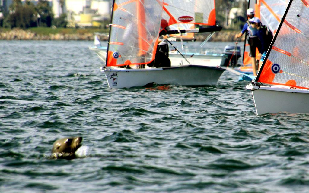 Sea lion checks in with 29ers at the starting line - Turkey Day Regatta 2013 © Rich Roberts