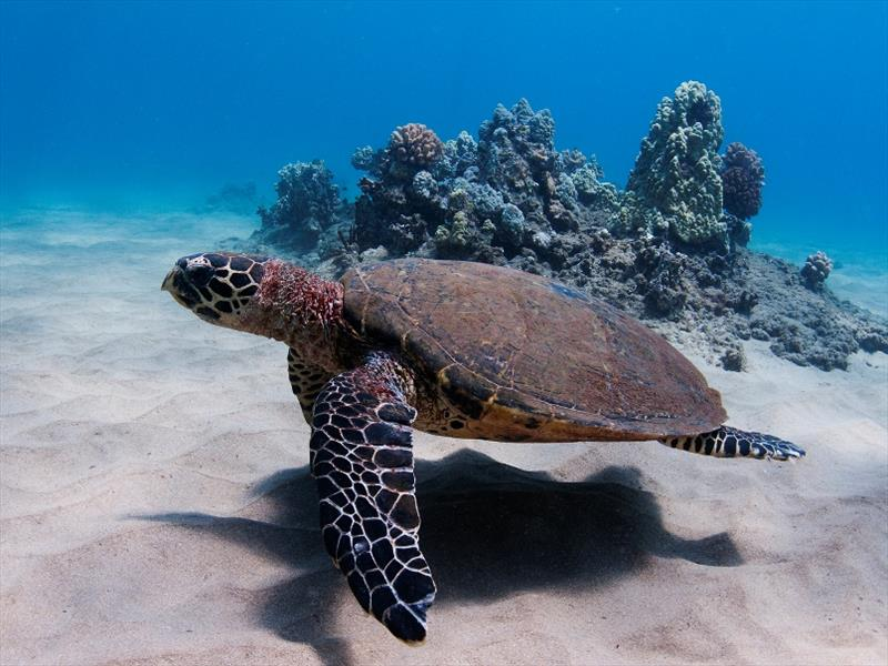 An adult hawksbill swimming in the waters of Hawaii - photo © NOAA Fisheries / Don Mcleish