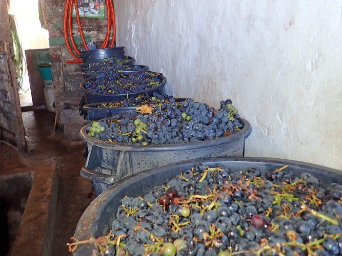 Grapes freshly picked and ready to be stomped (barefoot of course) and pressed. - photo © Rod Morris