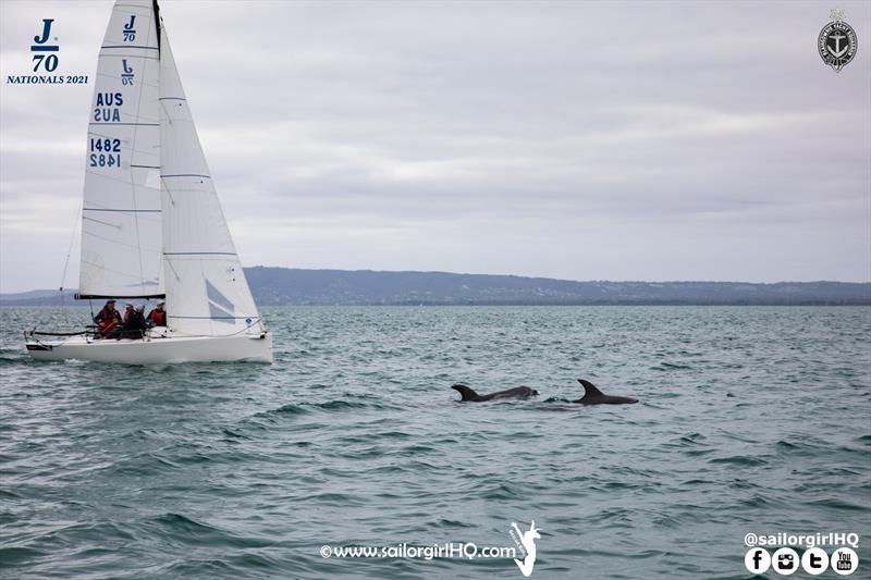 Dolphins escort the fleet during the 2021 J70 Australian Championships - photo © Nic Douglass / www.AdventuresofaSailorGirl.com