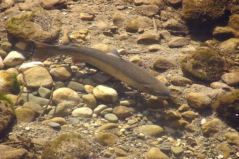 Endangered Southern California Steelhead in its stream habitat photo copyright USFWS taken at
