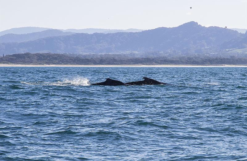 Whales having a blast off Coffs Harbour in late June. - photo © John Curnow