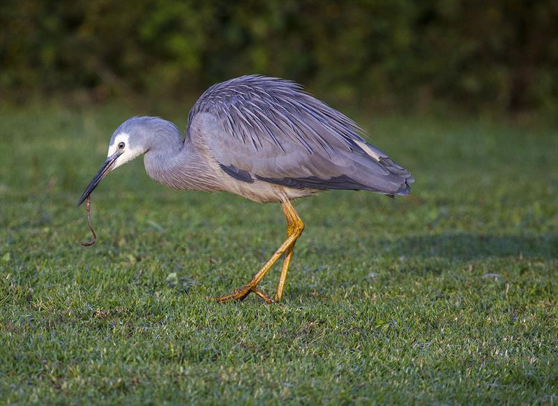 Early bird catches the worm... - photo © John Curnow