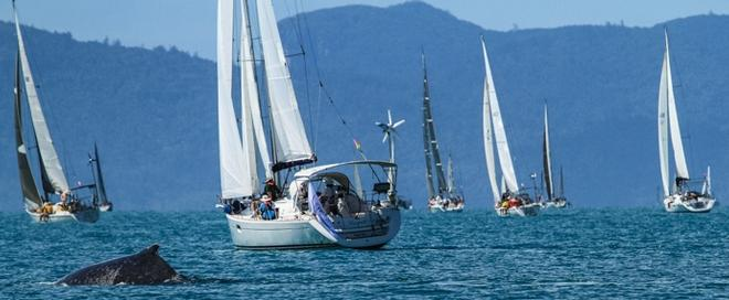 Airlie Beach Race  Week 2013, one or two whales and calf on the course enjoying the stunning Whitsunday weather while the competitors slip - Abell Point Marina Airlie Beach Race Week 2013 © Shirley Wodson