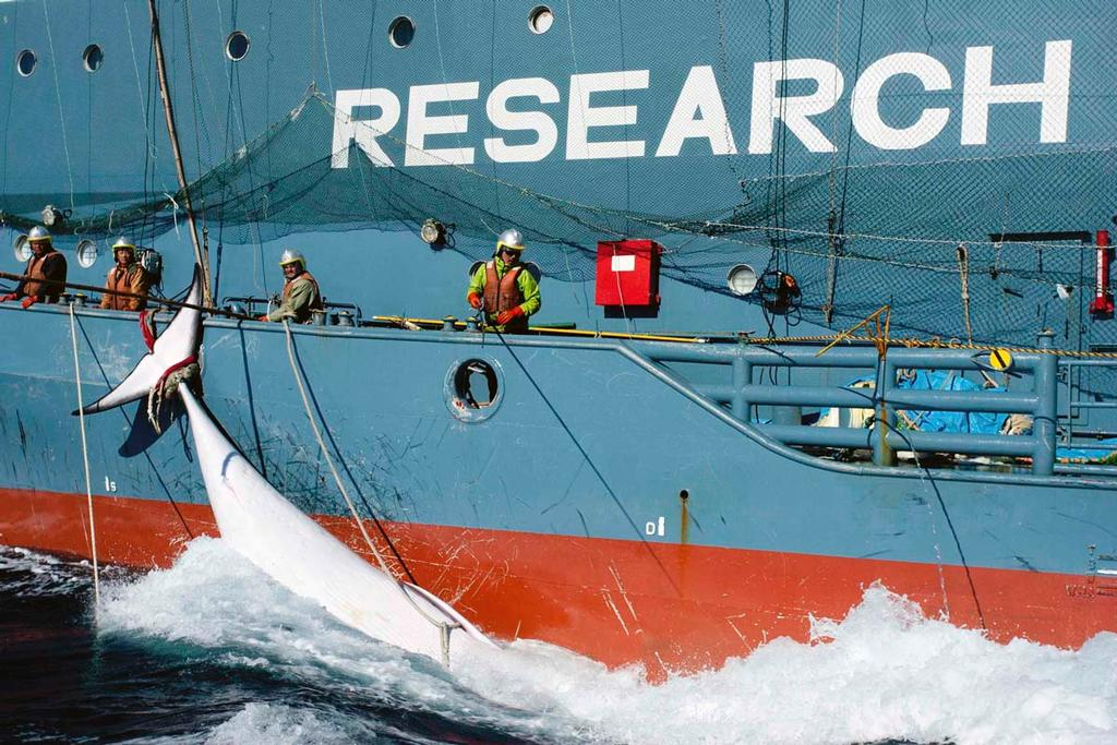 A whale tied to the side of Japanese Research vessel Yushin Maru No. 2 is dragged through the ocean in Mackenzie Bay, Antarctica, in this picture provided by Sea Shepherd Australia and taken February 15, 2013. Anti-whaling activists of the Sea Shepherd Conservation Group unsuccessfully tried to intervene in the transfer of the whale from a Japanese whaling vessel to another for more than nine hours, according to Sea Shepherd Conservation Group. Picture taken on February 15. Reuters/Glenn Lockitc © Sea Shepherd Conservation Society - copyright http://www.seashepherd.org
