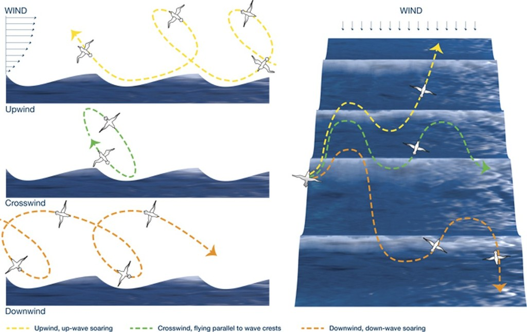 Albatrosses extract energy from winds to soar, as seen in these diagrammatic views from the side (left) and from overhead (right). Above a wave, winds blow progressively faster the higher you ascend. <br /> <br /> As albatrosses rise at an angle from a relatively windless wave trough, they cross a boundary into an area of brisk winds. They abruptly gain airspeed, giving them a burst of kinetic energy that allows them to climb to heights of 10 to 15 meters above the ocean. Then they bank downwind and swoop dow &copy; WHOI Graphic Services
