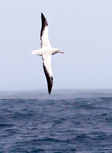 The wingspans of wandering albatrosses can reach 12 feet, but they rarely flap their wings. Instead they take advantage of winds and waves to remain aloft without expending energy. © Phil Richardson Richardson (Woods Hole Oceanographic Institution) http://www.whoi.edu/